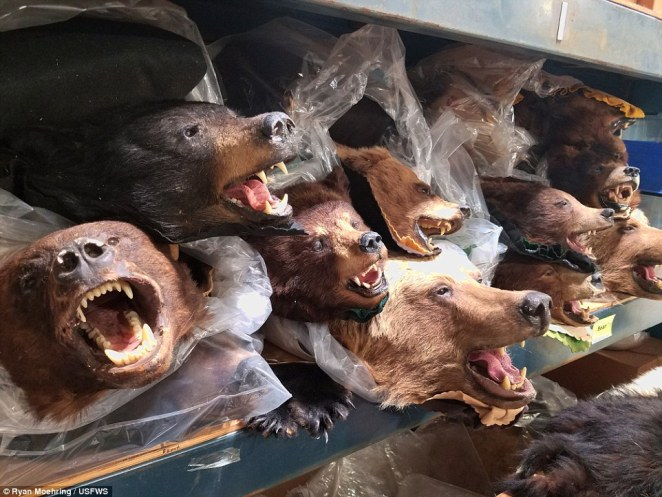 Bears are a big illegal export from the US, many of which are shipped off to Asian countries, shelves of stuffed bears above
