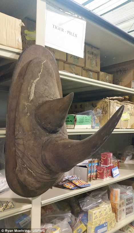 A rhino's double horn is a harrowing sight inside the Colorado depository