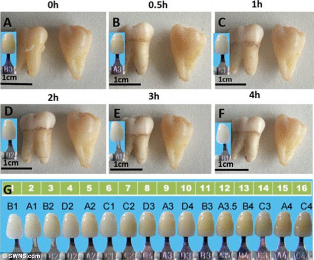 A modified form of titanium dioxide could whiten teeth just as well as the currently-used hydrogen peroxide, scientists say – pictured, a tooth whitened with the new chemical over time, next to an untreated tooth