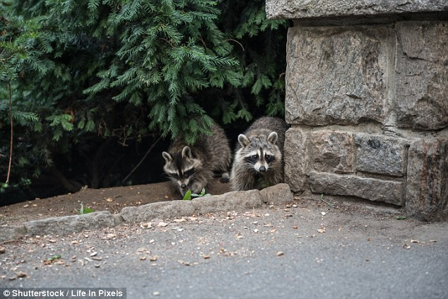 This undated file photo shows raccoons in Central Park, by a stone structure