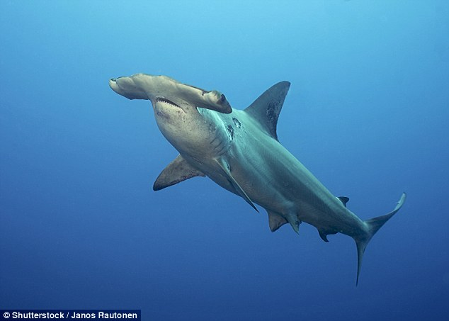 Now ground sharks (carcharhiniformes) are the most diverse shark group living today, with more than 200 different species. This order includes a number of common sharks such as catsharks, hammerhead  sharks  (stock image) and swellsharks