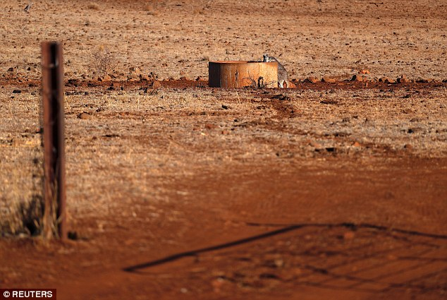 A kangaroo drinks from a water tank located in a drought-affected paddock on farmer Ash Whitney's property, located west of the town of Gunnedah in north-western New South Wales