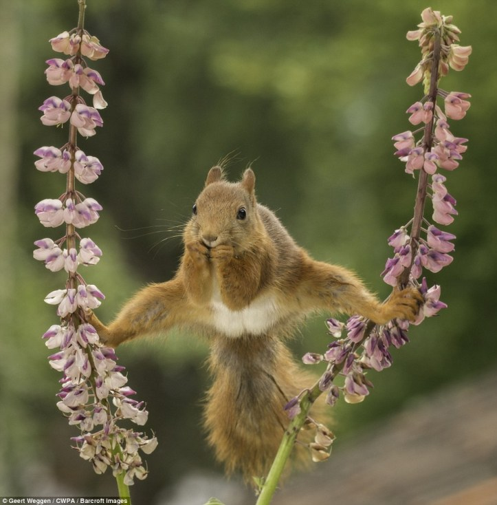 Acrobatics: A red squirrel does the splits on two flowers
