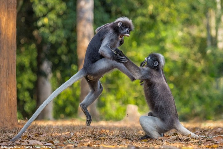 Take that: Two gibbons fight, as one jumps through the air to kick his opponent in the face in what appears to be a karate move