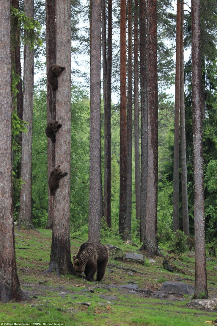 Goldie hooks: Three bear cubs climb a tree in what appears to be a race while their mother inspects the ground of the forest floor