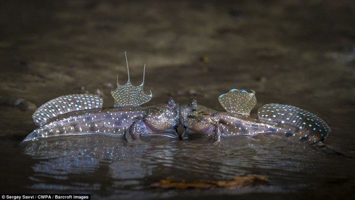 Kiss and tell: Two mudskippers - or amphibious fish - show their affection by appearing to have a smooch by the side of a river