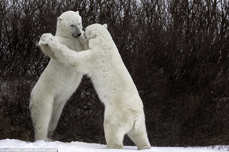 Grappling: Two polar bears appear to dance in the snow