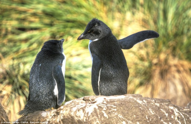 It's this way: A penguin points with its wings to a friend as they try to figure out the right way to the sea