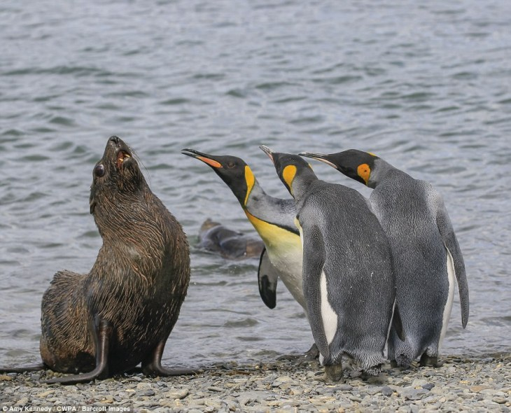 Squaring up: A sea lion is ganged-up on by a group of king penguins during a standoff by the sea