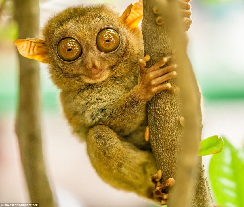 The tarsier is the world's second-smallest primate, fitting snugly into the palm of an adult's hand. It has the largest eyes relative to body size of any mammal
