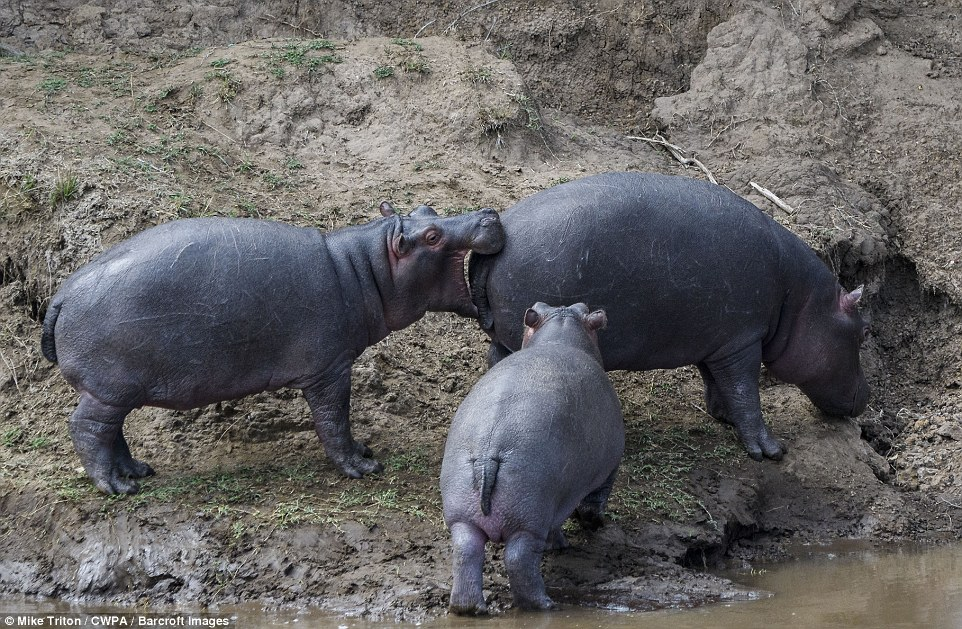 Cheeky: A hippopotamus bites the rear of another as a fellow hippo also goes in to investigate by the banks of a muddy river