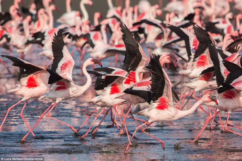 To see large concentrations of lesser flamingo, travellers are advised to head to  alkaline lakes such as Natron in Tanzania, the salt pans of Etosha National Park in Namibia, Makgadikgadi in Botswana and at Kamfers Dam in South Africa