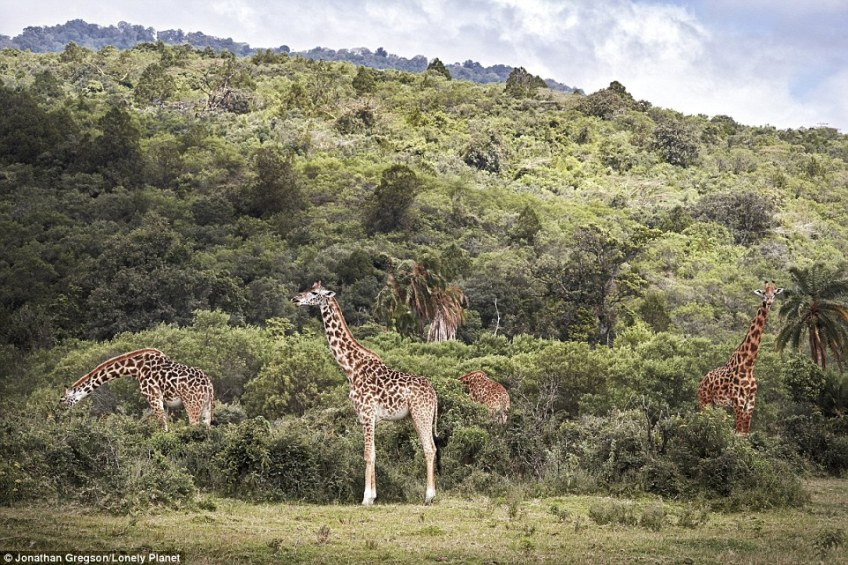There are different species of giraffe dotted across Africa, from Kenya to Somalia