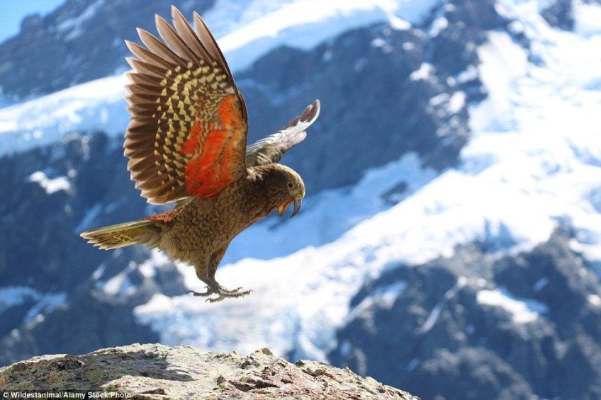The red underside of a kea's wing can be seen as it lands on a patch of rock  in New Zealand's Mount Cook National Park