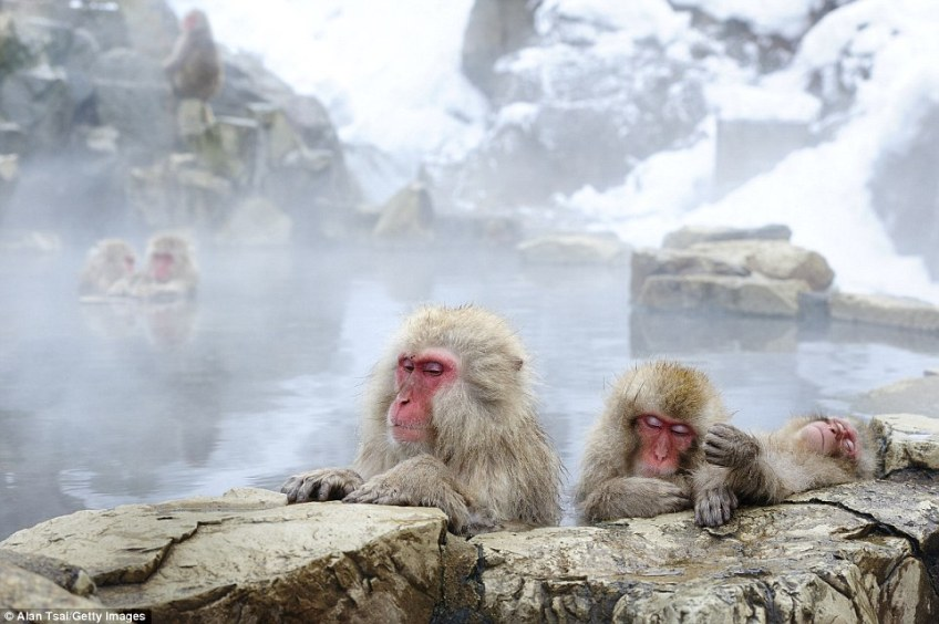 Japanese macaque living in Joshinetsu National Park are famed for bathing in hot springs during winter and they are also found on the main islands of Honshu, Shikoku and Kyushu