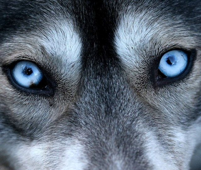 The Piercing Blue Eyes Are Caused By A Gene Mutation That Gives The Sled Dog Its