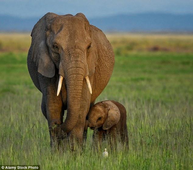 Untersuchungen haben auch gezeigt, dass die Elefanten eine geringe Toleranz gegenüber Fahrzeugen und Menschen haben, was mit ihrer Stoßlosigkeit zusammenhängen könnte (Bild der Datei).