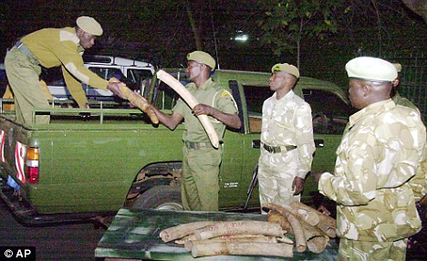 Kenyan Wildlife Service handle illegal elephant tusks seized in a town on the border with Ethiopia