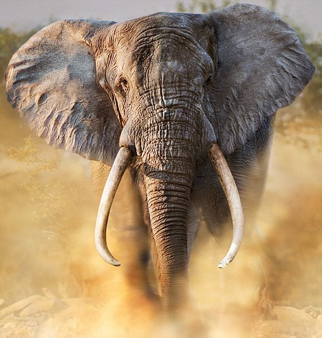 Poachers launched a new attack on the African elephant after the end of a ban on ivory sales