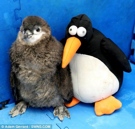 Pingu the penguin chick at the Living Coasts zoo in Torquay who has found solace with a stuffed toy