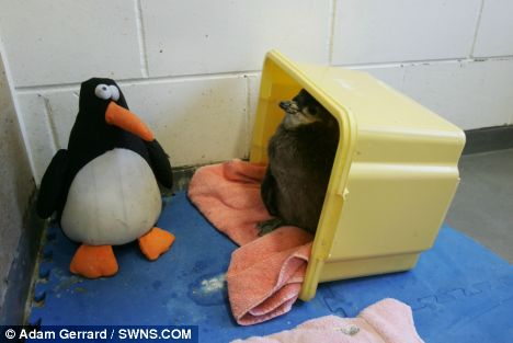 Staff at the zoo decided to hand rear the baby African penguin after noticing its older sibling kept eating all its food