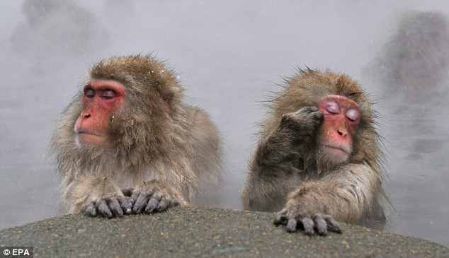 The monkeys close their eyes as they soak up the steam from the spring