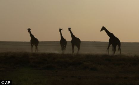 ** FOR IMMEDIATE RELEASE ** This undated photo provided by the Namibia Tourism Board shows giraffes in Namibia's Etosha National Park. (AP Photo/Ute von Ludwiger)