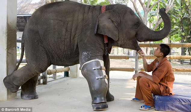 Mosha the elephant amputee with prosthetic leg