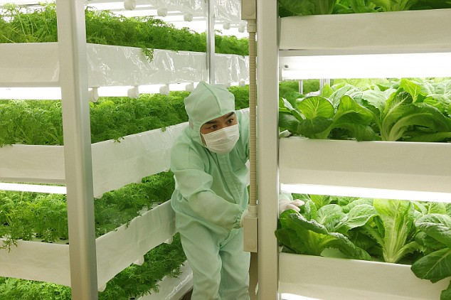 A worker - dressed in sterile clothing - tends to the lettuce at the 'plant factory'