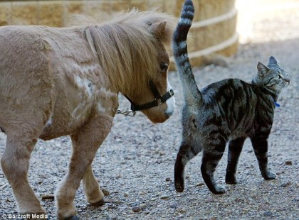 With a neigh and a meow: Koda, the tiny American Miniature horse, takes a stroll with someone his own size - in this case the Yarrambat Veterinary Hospital's cat