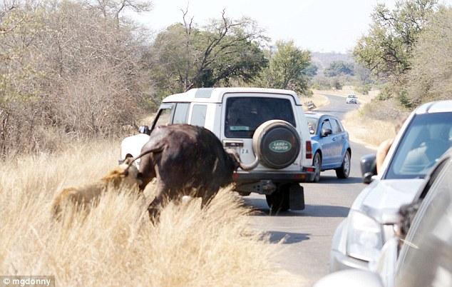 Chaos hits the road as the buffalo stumbles onto the tarmac