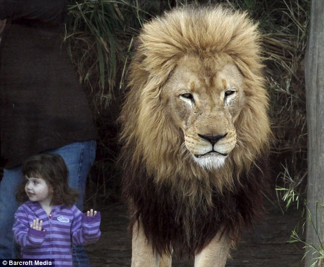 Come a little closer: The jungle king seems unperturbed by the toddler immediately behind him