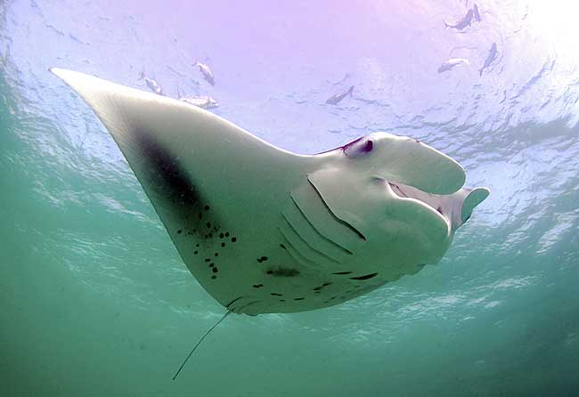 Manta Ray Species