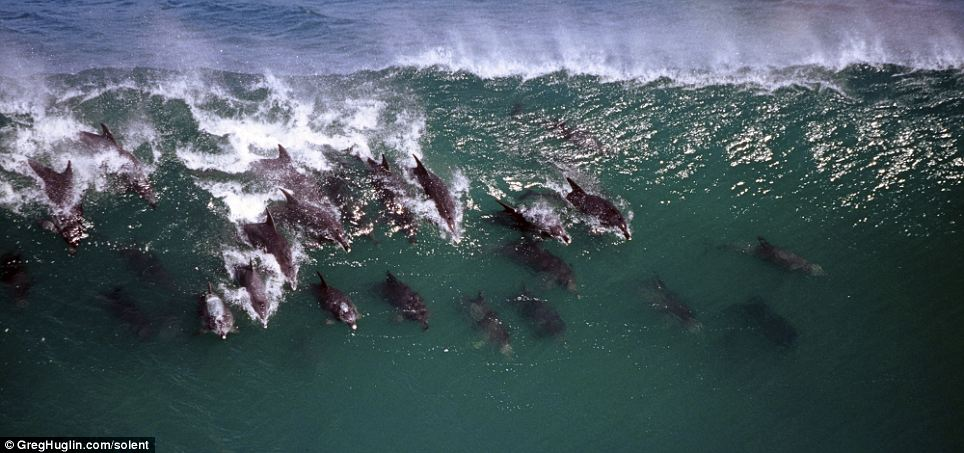 On a crest of a wave: In pods up to 400-strong, these surfing dolphins made light work of monster waves up to 25 feet high