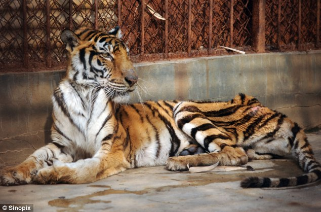 One of the emaciated tigers in a cage at the Xiongshen Tiger and Bear Mountain Village in Guilin, China