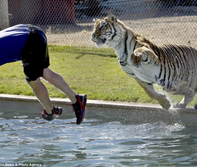 No Bombing Playful Bengal And Siberian Tigers Leap Into Swimming