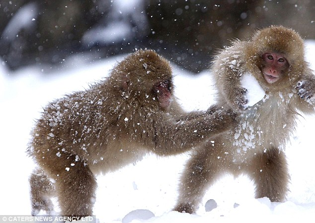 Image result for japanese macaque snow balls