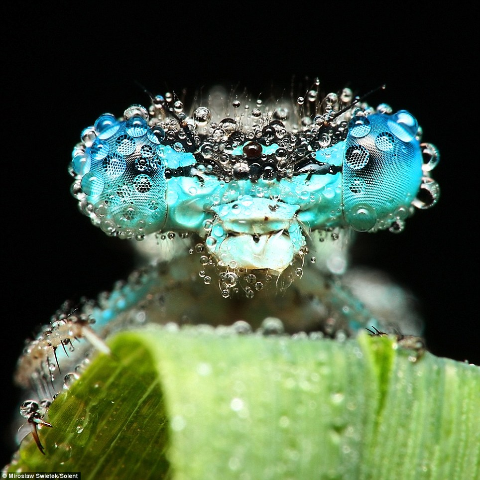 Dew insects