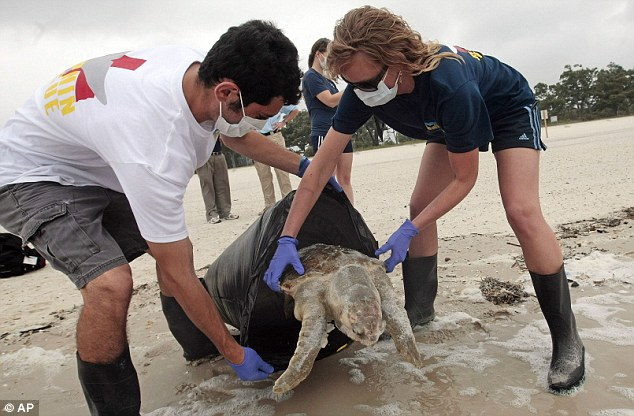 Washed up: More than 20 dead sea turtles have been found on Mississippi's beaches