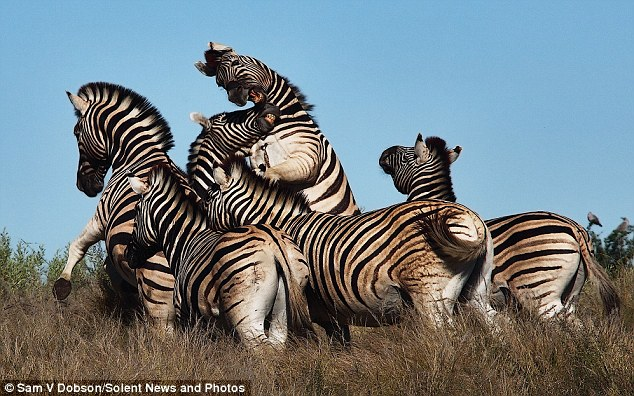 Zebra fight