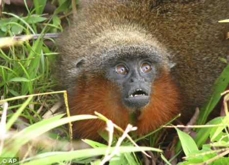 A new species of titi monkey that was found in the Colombian  Amazon region near the borders with Ecuador and Peru