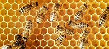 Overhead view of honeybees on a comb