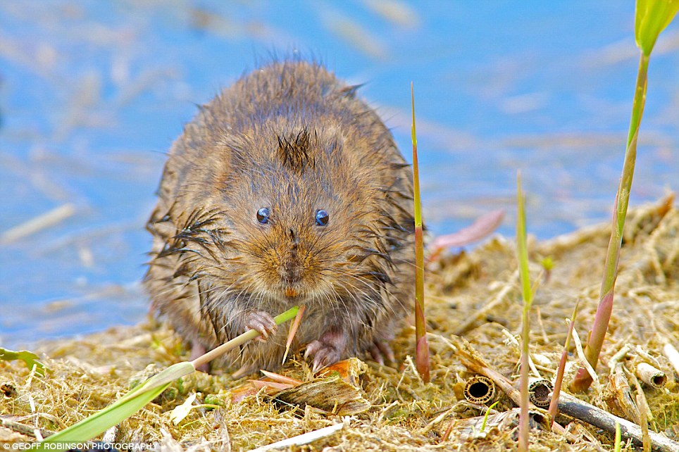 Tales of the riverbank: Runner-up Matt Fiddler's candid snap of a  water vole