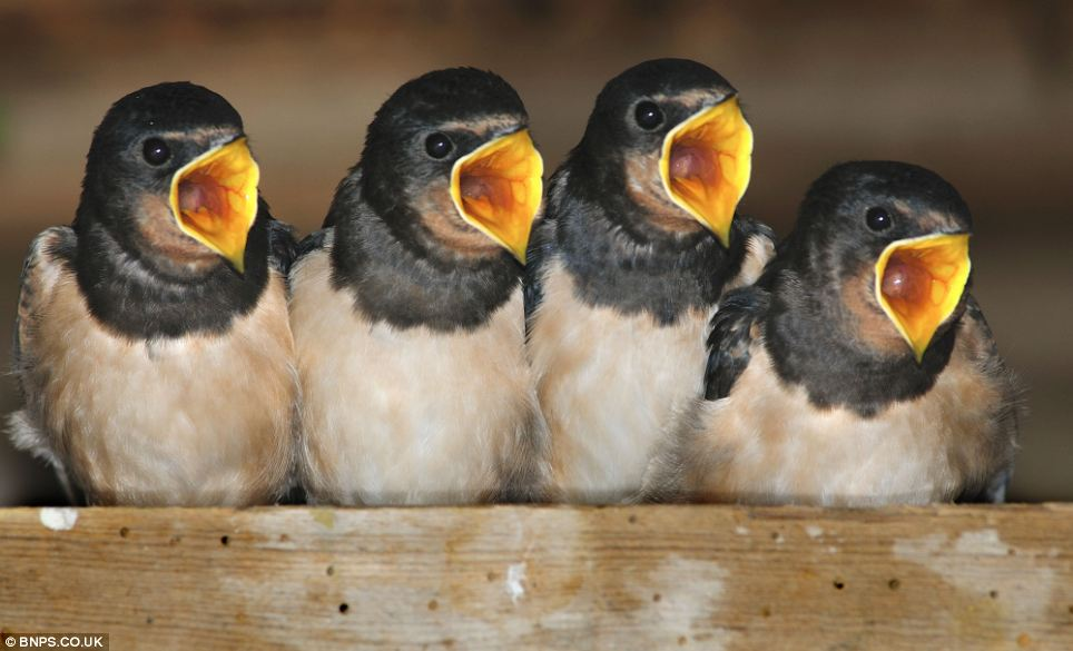 Singing for their supper: These four baby swallows were saved when  a couple about to knock down the derelict out-building spotted the  small nest resting on a wooden nogging in the roof