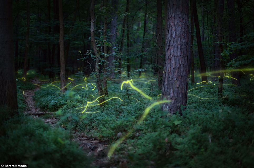 Fireflies produce a