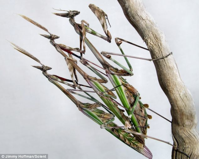 A trio of Empusa Pennata mantises perch, clutched together, on a  twig
