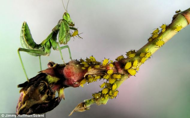 An Ameles Mantis eating tiny aphids