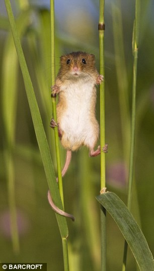 A harvest mouse balancing between two stalks of grass