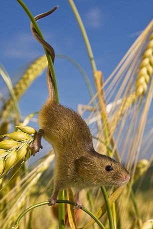 A harvest mouse climbs down a wheat stalk