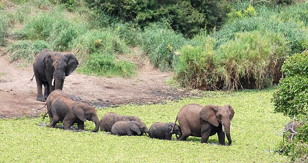 A happy ending: Safely recovered, the baby takes a stroll across the waterhole wirth other members of the herd